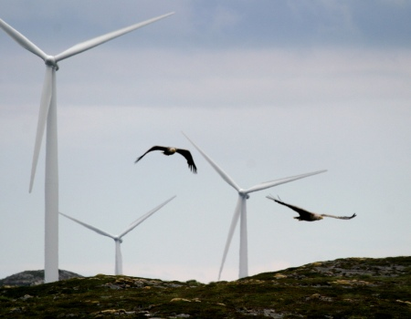 Photo of White-tailed sea eagles flying near their nest at the wind facility on the island of Sm�la, Norway.  This facility has killed many eagles and dramatically impacted the dynamics of their population.  Forest Service