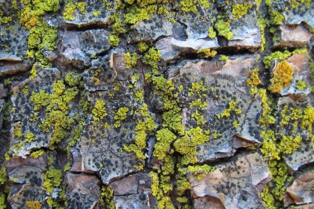 Photo of Quercus kelloggii lichen grows in the San Bernardino National Forest that receives about 70 kilograms of nitrogen per hectare per year -- background levels are less than 1kg. Sarah Jovan, Forest Service