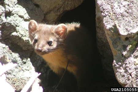 Photo of Pine marten. Michael Mengak, Bugwood.org