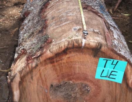 Photo of A koa log. Forest Service