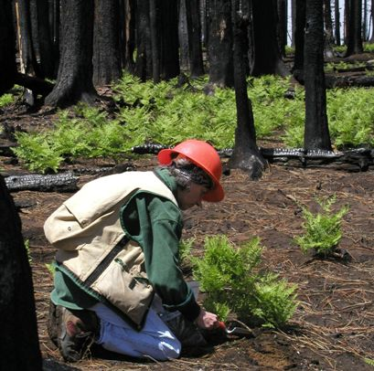 Photo of A researcher collects soil samples from an area burned by wildfire on the Deschutes National Forest. Jane Smith, Forest Service