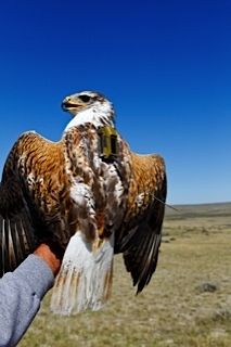 Photo of Ferruginous hawk fitted with a GPS transmitter to study movements relative to oil/gas and wind energy development. Forest Service