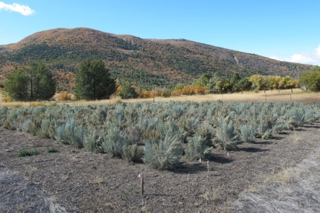 Photo of Healthy sagebrush common garden at Great Basin Experimental Range. Forest Service