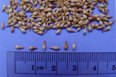 Photo of Sulphur-flower buckwheat seed. Forest Service