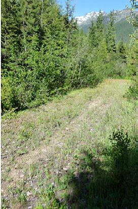 Photo of Noxious weeds were monitored following thinning and burning treatments in a lodgepole pine forest. Forest Service