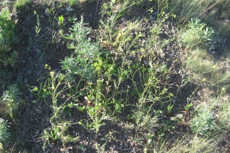 Photo of Experimental disturbance killing native plants facilitates invasion by tall tumblemustard, cheatgrass, lamb's quarters, prickly lettuce, Canada thistle, bull thistle, sweetclover, bulbous bluegrass, and herb Sophia. Forest Service
