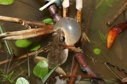 Photo of A chorus frog threatened by invasive Chinese Tallow. Taylor Cotten, Forest Service