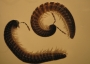 Photo of Millipedes used in the microcosms were all from the Order Stemmiulida, Family Stemmiulidae. Forest Service