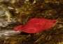Photo of Red bulletwood (Manilkara bidentata) leaf in a stream flow contributing to seasonally varying tropical stream exports that are resources for aquatic fauna. Forest Service