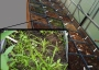 Photo of Greenhouse seed bank germination trials with closeup of one tray. Todd E. Ristau, Forest Service