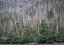 Photo of Yellow-cedar's shallow roots make it vulnerable to freezing injury in spring when snow is not present to provide insulation. Paul Hennon, Forest Service