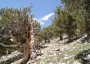 Photo of Healthy Rocky Mountain bristlecone pine stand in Colorado threatened by white pine blister rust and mountain pine beetle. Forest Service