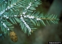 Photo of Hemlock wooly adelgid covers the leaves of a hemlock tree. Connecticut Agricultural Experiment Station