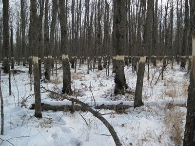 Photo of Black ash trees girdled to emulate emerald ash borer attack. Brian Palik, USDA Forest Service