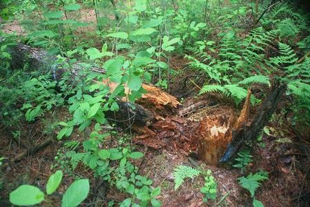 Photo of Heterobasidion root rot in red pine. Jessie Glaeser, USDA Forest Service