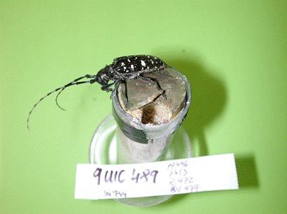 Photo of Adult Asian longhorned beetle newly emerged from an artificial pupal cell with the exit hole showing. Melody Keena, USDA Forest Service