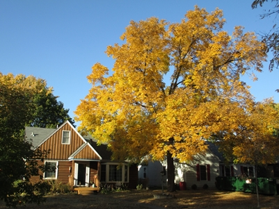 Photo of Walnut tree in suburban neighborhood, St. Paul, MN. Robert G. Haight, USDA Forest Service
