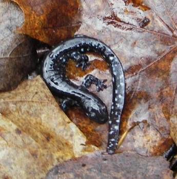 Photo of A blue-spotted salamander, woodland pond species, in Wisconsin. Dale Higgins, USDA Forest Service