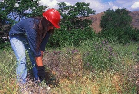 Photo of A volunteer pulls invasive knapweed. Tom Iraci, USDA Forest Service