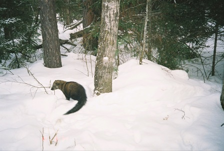 Photo of A fisher in the snow. Timothy Catton, USDA Forest Service