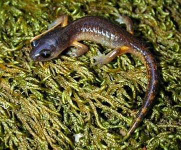 Photo of Woodland salamander. Garth Hodgson, USDA Forest Service