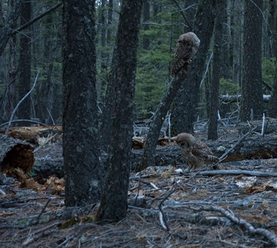 Photo of A pair of Mexican spotted owls watches a live mouse on the forest floor.  Spotted owl nests typically are well hidden and difficult to locate.  Nesting owls often take captured prey to the nest site, allowing scientists to locate the nest. USDA Forest Service