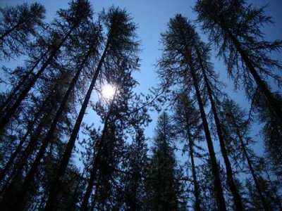 Photo of Under the canopy of contemporary climate change, some native plant species, such as western larch, will be unable to adapt or migrate fast enough to track the projected changes. Mary Williams, USDA Forest Service