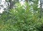 Photo of Ailanthus stems overtopping regeneration in shelterwood cut stands in southeast Pennsylvania on private land. LeDoux, Chris, USDA Forest Service