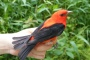 Photo of Many forest songbirds like this scarlet tanager moved from mature forests to regenerating harvested areas after breeding. Scott Stoleson, USDA Forest Service