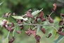 Photo of Hybrid aspen leaves showing bronze leaf disease. Mike Ostry, USDA Forest Service