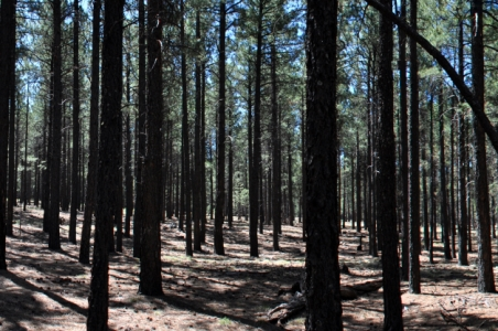 Photo of Contrasting low (left) and high (right) stocking in ponderosa pine forest in Taylor Woods, Fort Valley Experimental Forest. Alessandra Bottero, University of Minnesota