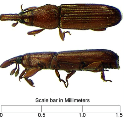 Photo of Dorsal and lateral views of the bark-colonizing weevil found to carry the Thousand Cankers Disease fungus in Indiana. Janet C. Ciegler