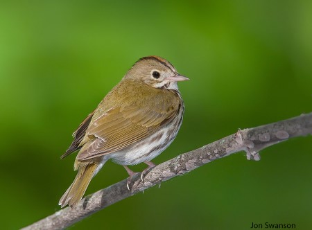 Photo of Study findings showed the Ovenbird (Seiurus aurocapilla) had significantly increasing numbers since 1995 in three National Forests: Chippewa, Superior and Chequamegon-Nicolet.  In addition, the Ovenbird and Red-eyed Vireo were the two most abundantly recorded species in the Chippewa and Chequamegon-Nicolet National Forests. Common species such as the Ovenbird tended to occur in many forest cover types, but most commonly in upland hardwood forests. Jon Swanson