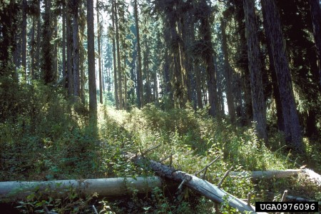 Photo of A stand of grand fir and Douglas-fir in eastern Oregon. Dave Powell, USDA Forest Service