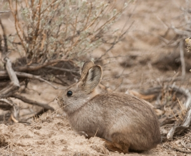 Photo of A pygmy rabbit. Boise State University, Boise State Univsersity