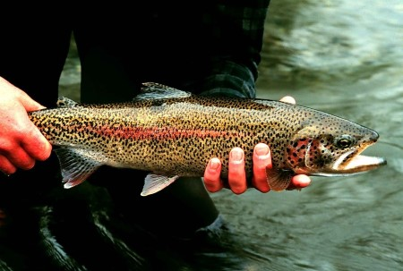 Photo of A rainbow trout. Mark Lisac, U.S. Fish and Wildlife