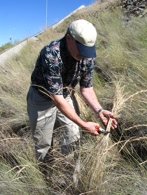 Photo of A volunteer collects seed from bluebunch wheatgrass in the Blue Mountains, WA, as part of a study to develop seed zones and population movement guidelines. Bluebunch wheatgrass is often used to restore rangeland and burned forested areas. Brad St.Clair, USDA Forest Service