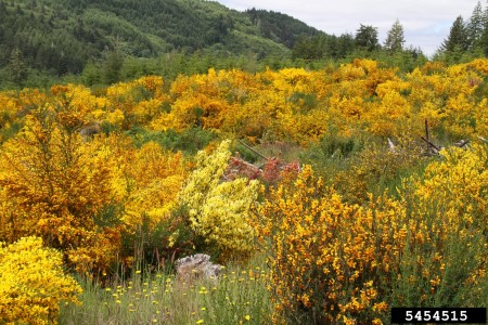 Photo of Invasive Scotch broom shades out tree seedlings and other native vegatation. Eric Coombs, Oregon Department of Agriculture