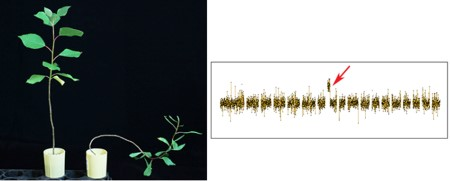 Photo of On the leaf is a normal tree compared to a tree with a chromosomal break that leads to altered wood development and growth habit. On the right is a diagram showing the precise location of the chromosome break. The genes responsible for the wood and growth habit changes reside in this region, and can now be studied in detail. Andrew Groover, USDA Forest Service