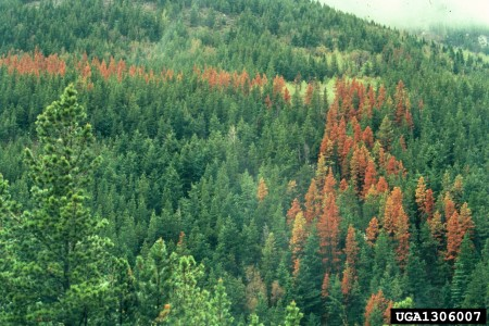 Photo of Mountain pine beetle damage. Daniel Miller, USDA Forest Service
