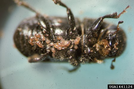 Photo of Biocontrol method uses mites to manage mountain pine beetles. USDA Forest Service