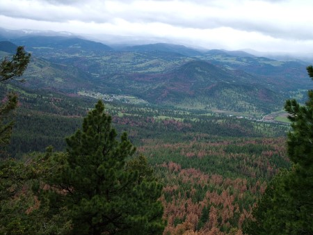 Photo of Mountain pine beetle has killed millions of acres of pine trees, including on the Helena National Forest, Montana. Barbara Bentz, USDA Forest Service.