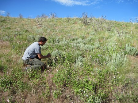 Photo of View of vegetative recovery five years after fire on a Colorado Plateau site includes scattered mountain big sagebrush plants that grew from seeds that survived the fire. These young plants are just large enough to begin producing seeds. Plant density on this site is sufficient to support a prediction of full sagebrush recovery in 25-35 years after the fire. Stanley G Kitchen, USDA Forest Service