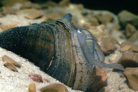 Photo of A plain pocketbook mussel (Lampsilis cardium) with the lure it uses to draw fish close enough to deposit larvae in their gills as part of its unique reproductive cycle. Wendell Haag, USDA Forest Service