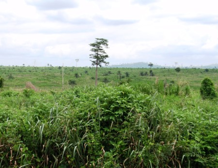 Photo of In the dry tropical forest zone of Ghana, a combination of extractive logging without adequate regeneration, fire, and invasion by Chomolaena odorata resulted in severly degraded forests. John Stanturg, USDA Forest Service
