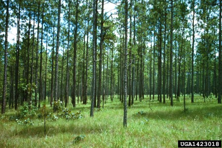 Photo of Longleaf pine communities are one of the most diverse ecosystems outside the tropics. William D. Boyer, USDA Forest Service