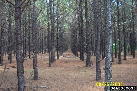 Photo of Loblolly pine is an economically significant species in the southern U.S. David Stephens