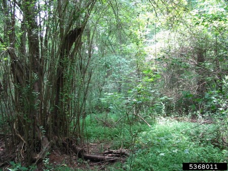 Photo of A forest heavily invaded by the Chinese privet shrub.. Nancy Loewenstein, Auburn University