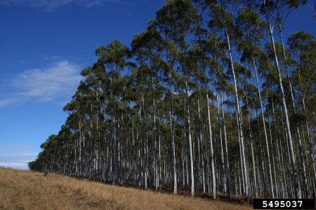 Photo of Eucalyptus stand in South Africa. Donald Owen, California Department of Forestry and Fire Protection