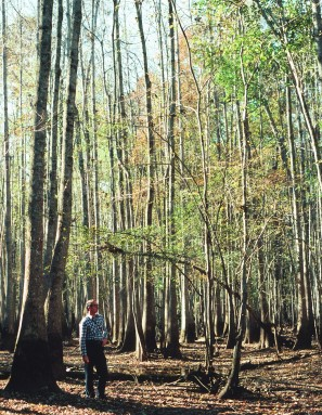 Photo of U.S. forests, such as this bottomland hardwood stand, are susceptible to climate change. Paul Bolstad, University of Minnnesota